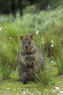 Quokka (Setonix brachyurus) portrait, Rottnest Island, Western Australia  -  Jean-Paul Ferrero/ Auscape