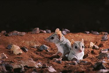 Kowari (Dasyuroides byrnei) pair emerging from burrow in Gibber Desert, central Australia  -  D. Parer & E. Parer-Cook