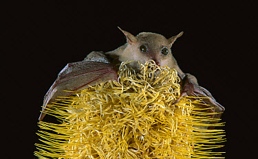 Northern Blossom Bat (Macroglossus minimus pygmaeus) feeding on Banksia (Banksia sp) flower, North Queensland, Australia  -  Jean-Paul Ferrero/ Auscape