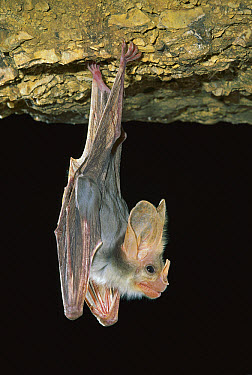 Ghost Bat (Macroderma gigas) hanging from roof of cave, northern Australia  -  Jean-Paul Ferrero/ Auscape