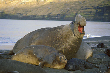Southern Elephant Seal (Mirounga leonina) bull with female and pup, Crozet Islands, southern Indian Ocean  -  D. Parer & E. Parer-Cook