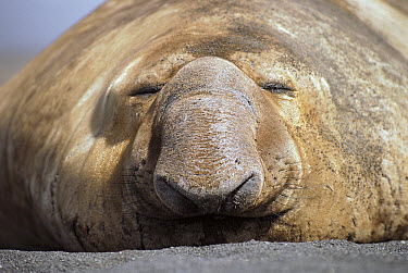 Southern Elephant Seal (Mirounga leonina) male, resting in the sun on the beach, Crozet Island  -  D. Parer & E. Parer-Cook