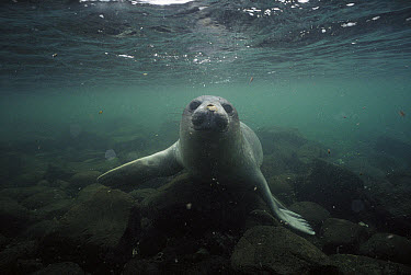 Southern Elephant Seal (Mirounga leonina) underwater, Crozet Island  -  D. Parer & E. Parer-Cook