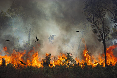 Black Kite (Milvus migrans) group chasing insects during bushfire, Kakadu National Park, Northern Territory, Australia  -  Jean-Paul Ferrero/ Auscape