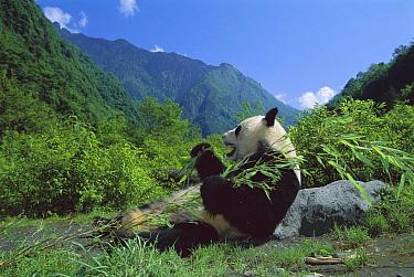 Giant Panda (Ailuropoda melanoleuca) eating bamboo, Wolong Nature Reserve, Sichuan, China  -  Jean-Paul Ferrero/ Auscape