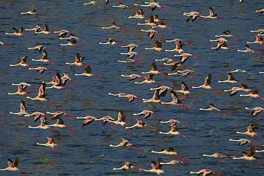 Lesser Flamingo (Phoenicopterus minor) and Greater Flamingo (Phoenicopterus ruber) flying over Lake Bogoria, Rift Valley, Kenya  -  Ferrero-Labat/ Auscape