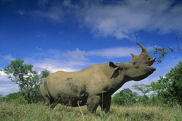 Black Rhinoceros (Diceros bicornis) feeding on Acacia tree, Ngorongoro Crater, Tanzania  -  Ferrero-Labat/ Auscape