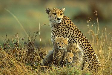 Cheetah (Acinonyx jubatus) mother with two to three month old cubs, Masai Mara National Reserve, Kenya  -  Ferrero-Labat/ Auscape