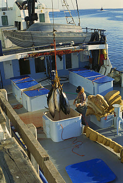 Southern Bluefin Tuna (Thunnus maccoyii) commercial fishing boat unloading catch, Port Linclon, Spencer Gulf, South Australia  -  Becca Saunders/ Auscape