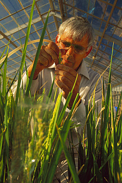 Rice (Oryza sativa) hybridization at Yanco Agricultural Institute, New South Wales, South Australia  -  Mike Langford/ Auscape
