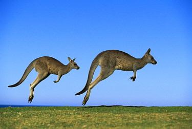 Eastern Grey Kangaroo (Macropus giganteus) two adults hopping, Murramarang National Park, New South Wales  -  Jean-Paul Ferrero/ Auscape