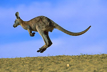 Wallaroo (Macropus robustus) hopping, Sturt National Park, New South Wales, Australia  -  Jean-Paul Ferrero/ Auscape