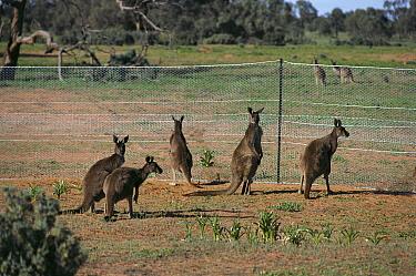 Western Grey Kangaroo (Macropus fuliginosus) group at Dingo fence, Australia  -  Graham Robertson/ Auscape