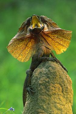 Frilled Lizard (Chlamydosaurus kingii) with frill raised and mouth open in defensive posture, Kakadu National Park, Northern Territory, Australia  -  Jean-Paul Ferrero/ Auscape