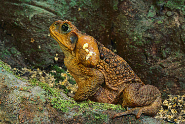 Cane Toad (Bufo marinus) the large swollen parotid glands behind the head produce a mixture of fourteen different toxins affecting the nervous system of any predator inexperienced enough to try to eat...  -  Jean-Paul Ferrero/ Auscape
