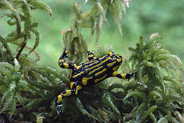 Southern Corroboree Frog (Pseudophryne corroboree) underwater in sphagnum moss pool, Kosciuszko National Park, New South Wales, Australian Alps  -  Jean-Paul Ferrero/ Auscape