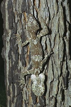 Northern Leaf-tailed Gecko (Saltuarius cornutus) camouflaged against the bark of a tree, North Queensland, Australia  -  Jean-Paul Ferrero/ Auscape