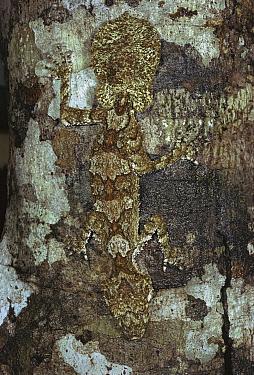 Northern Leaf-tailed Gecko (Saltuarius cornutus) camouflaged against tree bark, North Queensland, Australia  -  Jean-Paul Ferrero/ Auscape