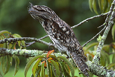 Tawny Frogmouth (Podargus strigoides) perched in tree, southern Queensland, Australia  -  Glen Threlfo/ Auscape
