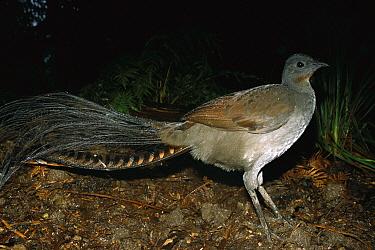Superb Lyrebird (Menura novaehollandiae) mature male showing signature tail feathers, Healesville Sanctuary, Melbourne, Victoria, Australia  -  D. Parer & E. Parer-Cook