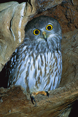 Barking Owl (Ninox connivens) occurs in most of Australia except desert areas and Tasmania  -  Jean-Paul Ferrero/ Auscape