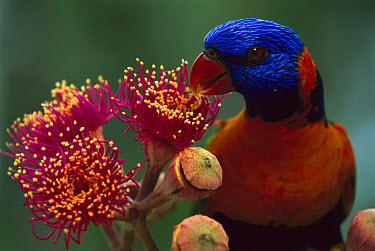 Red-collared Lorikeet (Trichoglossus rubritorquis) feeding on Swamp Bloodwood (Eucalyptus ptychocarpa) flowers, Kakadu National Park, Australia  -  Jean-Paul Ferrero/ Auscape