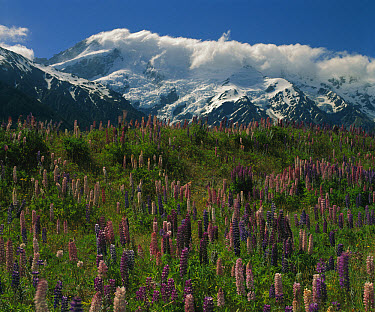 Lupine meadow, Mt Cook National Park, South Island, New Zealand  -  Mike Langford/ Auscape