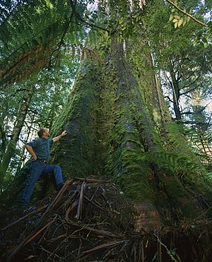 Mountain-ash (Eucalyptus regnans) tallest hardwood tree in the world with John Williamson standing for scale, Styx Valley, Tasmania, Australia  -  John Lewis/ Auscape