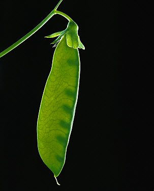 Chinese Snow Pea (Pisum sativum) cultivated worldwide  -  Jean-Paul Ferrero/ Auscape