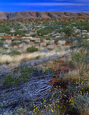 Yellowtop (Senecio gregorii) and Davenport Daisy (Helichrysum davenportii) blooming in desert, Western Australia  -  Jean-Paul Ferrero/ Auscape