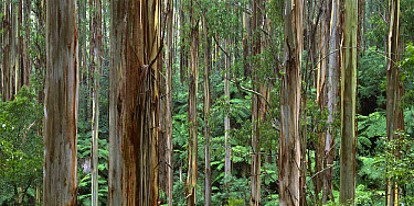 Mountain-ash (Eucalyptus regnans) forest interior with Tree Ferns, Tarra-Bulga National Park, Victoria, Australia  -  Jean-Marc La Roque/ Auscape