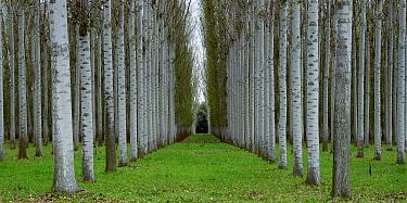 Poplar plantation, Wangaratta area, northern Victoria, Australia  -  Jean-Marc La Roque/ Auscape