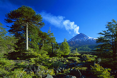 Monkey Puzzle Tree (Araucaria araucana) forest and Volcano Llaima, Conguillio National Park, Chile  -  Jaime Plaza Van Roon/ Auscape