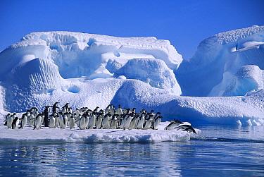 Adelie Penguin (Pygoscelis adeliae) group diving from icefloe in Hope Bay, Antarctic Peninsula, Antarctica  -  Colin Monteath/ Hedgehog House