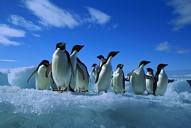 Adelie Penguin (Pygoscelis adeliae) group on iceberg, Paulet Island, Antarctica  -  Colin Monteath/ Hedgehog House