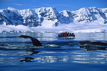Humpback Whale (Megaptera novaeangliae) observed by tourists in a zodiac boat near Melchoir Island, Antarctic Peninsula, Antarctica  -  Colin Monteath/ Hedgehog House
