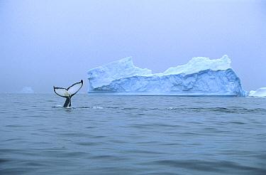 Humpback Whale (Megaptera novaeangliae) tail near iceberg, Antarctica  -  Colin Monteath/ Hedgehog House
