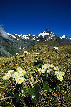 Great Mountain Buttercup (Ranunculus lyallii), MacKinnon Pass, Milford Track, Fiordland National Park, New Zealand  -  Colin Monteath/ Hedgehog House