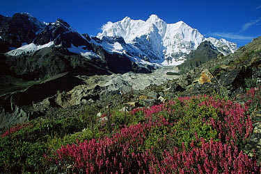Wildflowers growing on moraine terrace beside Kangshung Glacier, with Mt Chomolonzo in background, east of Mt Everest, Tibet  -  Colin Monteath/ Hedgehog House