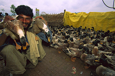 Duck (Anas sp) group to sell at market during Diwali Festival, Kathmandu, Nepal  -  Colin Monteath/ Hedgehog House