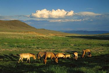 Przewalski's Horse (Equus ferus przewalskii) herd grazing, reintroduced from Europe, Khustain Nuruu National Park, Mongolia  -  Colin Monteath/ Hedgehog House
