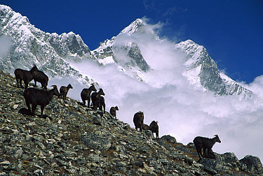 Himalayan Tahr (Hemitragus jemlahicus) herd on slope under Mt Lhotse at 5,500 meters, Kongma La, Khumbu, Nepal  -  Colin Monteath/ Hedgehog House