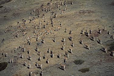 Bharal (Pseudois nayaur) herd, Shomuthang, Bhutan  -  Colin Monteath/ Hedgehog House