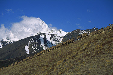 Bharal (Pseudois nayaur) herd grazing on mountain slope, Shomuthang, Bhutan  -  Colin Monteath/ Hedgehog House