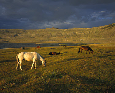 Domestic Horse (Equus caballus) herd owned by Kazak nomads, grazing, western Mongolia  -  Colin Monteath/ Hedgehog House