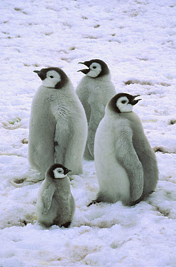 Emperor Penguin (Aptenodytes forsteri) large, fat chicks with runt, Riiser-Larson Colony, Weddell Sea, Antarctica  -  Colin Monteath/ Hedgehog House