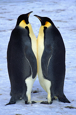 Emperor Penguin (Aptenodytes forsteri) two adults standing face to face, Riiser-Larson Rookery, Weddell Sea, Antarctica  -  Colin Monteath/ Hedgehog House