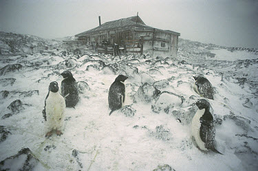 Adelie Penguin (Pygoscelis adeliae) rookery in blizzard outside Shackleton's 1908 hut at Cape Royds, Ross Island, Antarctica  -  Colin Monteath/ Hedgehog House