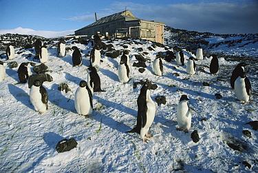Adelie Penguin (Pygoscelis adeliae) rookery outside Shackleton's 1908 hut at Cape Royds, Ross Island, Antarctica  -  Colin Monteath/ Hedgehog House