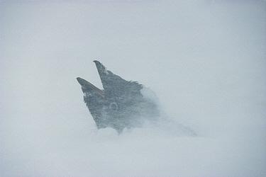 Adelie Penguin (Pygoscelis adeliae) in storm, Cape Royds, Ross Island, Antarctica  -  Colin Monteath/ Hedgehog House